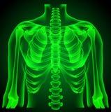 Torso examaning médico del pulmón del radiólogo del cirujano Imagenes de archivo