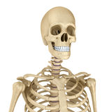 Torso of human skeleton, isolated Stock Photo