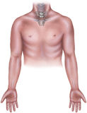 Torso - Male with Cervicle Neck Bones, Manubrium & Clavicle. Cervical bones of neck, body of manubrium and clavicle royalty free stock photo