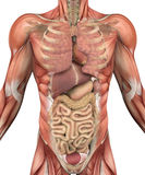 Torso maschio con i muscoli e gli organi Immagini Stock Libere da Diritti