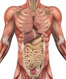 Torso masculino con los músculos y los órganos Imágenes de archivo libres de regalías