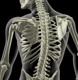 Torso of a medical skeleton Stock Images