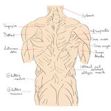 Torso muscles back Stock Images