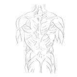 Torso muscles back Stock Photo