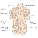 Torso muscles front color Royalty Free Stock Photos