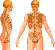 Torso Skeleton Royalty Free Stock Images