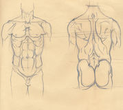 Torso sketches. Hand drawn illustration of the torso muscles, original artistic anatomy graphic sketches over an obsolete paper, back and front view Stock Images