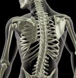 Torso van een medisch skelet Stock Afbeeldingen