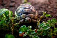 Tort having fun. Marginated Tortoise, in a tortoise table with example of growing food Stock Photography