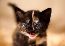 `Fierce` Tortoiseshell Kitten with Blue Eyes. A torte kitten aged around three weeks appears to roars at the camera, whilst mewling royalty free stock image