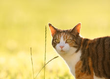 Torte And White Cat In Sunny Field. A pretty tortoiseshell cat looks at the camera with her bright golden eyes against a pretty sunlit, defocused field. There royalty free stock photos