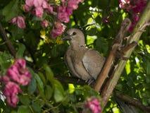 Tortelduif in een rosebush Royalty-vrije Stock Afbeelding