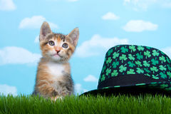 Tortie平纹小猫在高绿色春天草圣帕特下栖息 免版税库存图片
