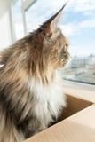 Tortie bleu tigré avec le chat blanc de Maine Coon regardant hors de W Photographie stock libre de droits