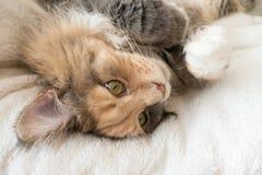 Tortie bleu tigré avec le chat blanc de Maine Coon s'étendant sur le lit de chat Photographie stock