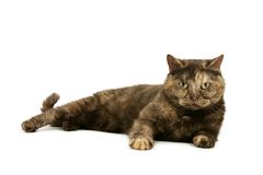 Tortie cat Royalty Free Stock Images