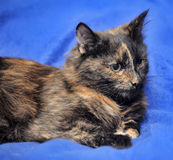 Tortie cat Royalty Free Stock Image
