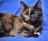 Tortie cat Stock Photos