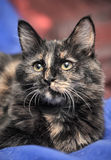 Tortie cat Royalty Free Stock Photo