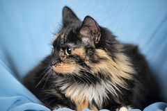 Tortie cat on a blue background Royalty Free Stock Image
