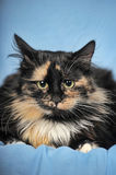 Tortie cat on a blue background Royalty Free Stock Photography
