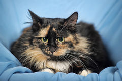 Tortie cat on a blue background Royalty Free Stock Photo