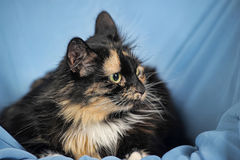 Tortie cat on a blue Royalty Free Stock Images