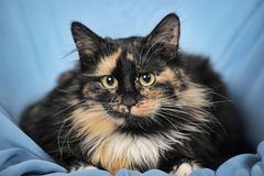 Tortie cat on a blue Royalty Free Stock Image