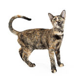 Tortie Cat With Curled Tail on White Royalty Free Stock Photos