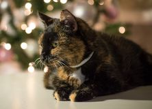 Tortie cat posing during her christmas photo shoot royalty free stock photos