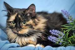 Tortie cat. Tortie and white cat on a blue background with flowers Royalty Free Stock Photos