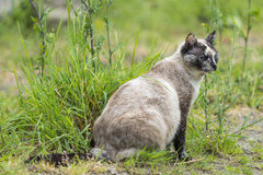 Tortie color point cat sitting and staring at something. One cat is sitting and staring at something right side. Outdoors portrait of cute tortie color point cat royalty free stock image