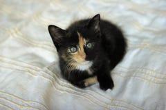 Tortie coloring kitten on a beige blanket Stock Image