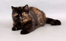 Tortie exotic shorthair female Stock Images