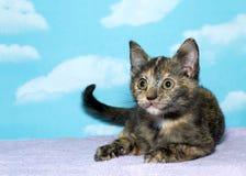 Tortie kitten royalty free stock photo