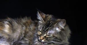 Tortie Maine Coon Domestic Cat die, Wijfje tegen Zwarte Achtergrond, het Likken, Normandië in Frankrijk, Langzame motie leggen stock footage