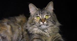 Tortie Maine Coon Domestic Cat die, Wijfje tegen Zwarte Achtergrond, Normandië in Frankrijk, Langzame motie leggen stock footage