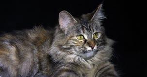 Tortie Maine Coon Domestic Cat die, Wijfje tegen Zwarte Achtergrond, Normandië in Frankrijk, Langzame motie leggen stock video