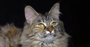 Tortie Maine Coon Domestic Cat, Portret van Wijfje tegen Zwarte Achtergrond, Normandië in Frankrijk, Langzame motie stock video