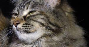 Tortie Maine Coon Domestic Cat, Portret van Wijfje tegen Zwarte Achtergrond, Normandië in Frankrijk, Langzame motie stock videobeelden