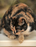 Tortie met witte kat stock fotografie