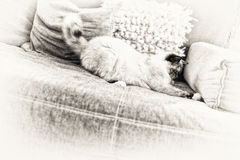 Tortie point Birman cat playing on the sofa. A seal tortie point Birman female cat playing on the sofa. Black and white fine art portrait of purebred cat. Ten Stock Photography