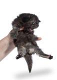 Tortie siberian kitten on white background Stock Images