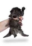 Tortie siberian kitten on white background Royalty Free Stock Photos