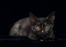Tortie strimmig kattstående på svart Fotografering för Bildbyråer