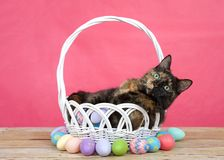 Tortie tabby cat in easter basket surrounded by colorful eggs stock photos