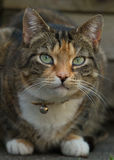 Tortie-tabby cat in the garden. Tortie-tabby cat with green eyes Stock Photos