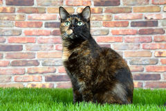 Tortie tabby cat in grass looking up royalty free stock image