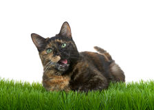 Tortie Tabby Cat in grass mouth open isolated on white background Royalty Free Stock Image