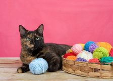 Tortie tabby cat laying next to a basket of yarn balls. Tortoiseshell tortie tabby cat laying on a wood surface, bright pink background, basket of yarn multiple Royalty Free Stock Photo